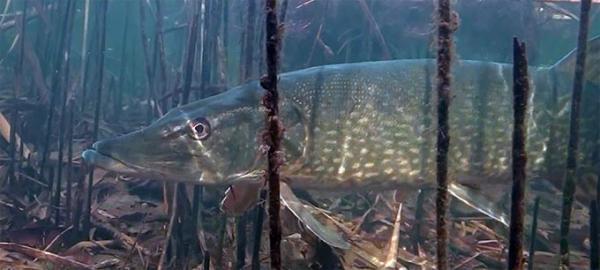 Ловля щуки в траве на спиннинг. Ловим щуку в заросших травой водоемах.